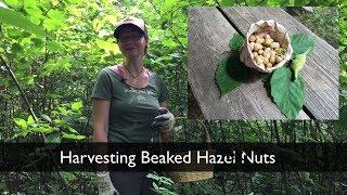 Harvesting Edible Nuts - Ethical Foraging of Beaked Hazel - Wildcrafting - Wild Muskoka Botanicals