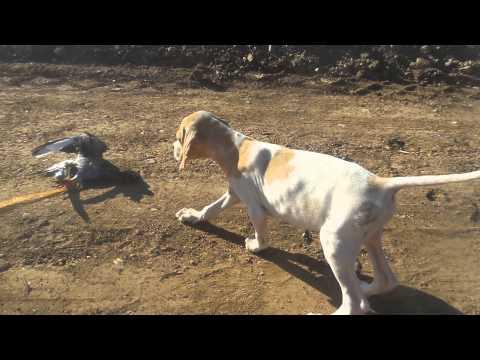 Dressage de chien de chasse Ain aouda Rabat - YouTube