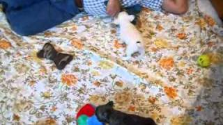 French Bulldog Puppies Http://www.frenchbulldog-puppies.net