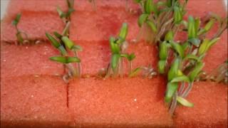 как прорастить семена в губке