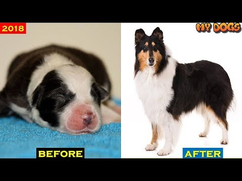 ROUGH COLLIE dogTransformations # 2018