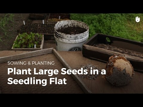 How to grow large seeds in a tray or flat