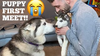 Husky Meets Puppy Sister For The First Time EVER!! [UNSEEN!!] [SHES SO SCARED!]