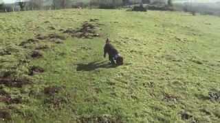 Brading Down - Isle Of Wight - Cockapoo Dog Walk