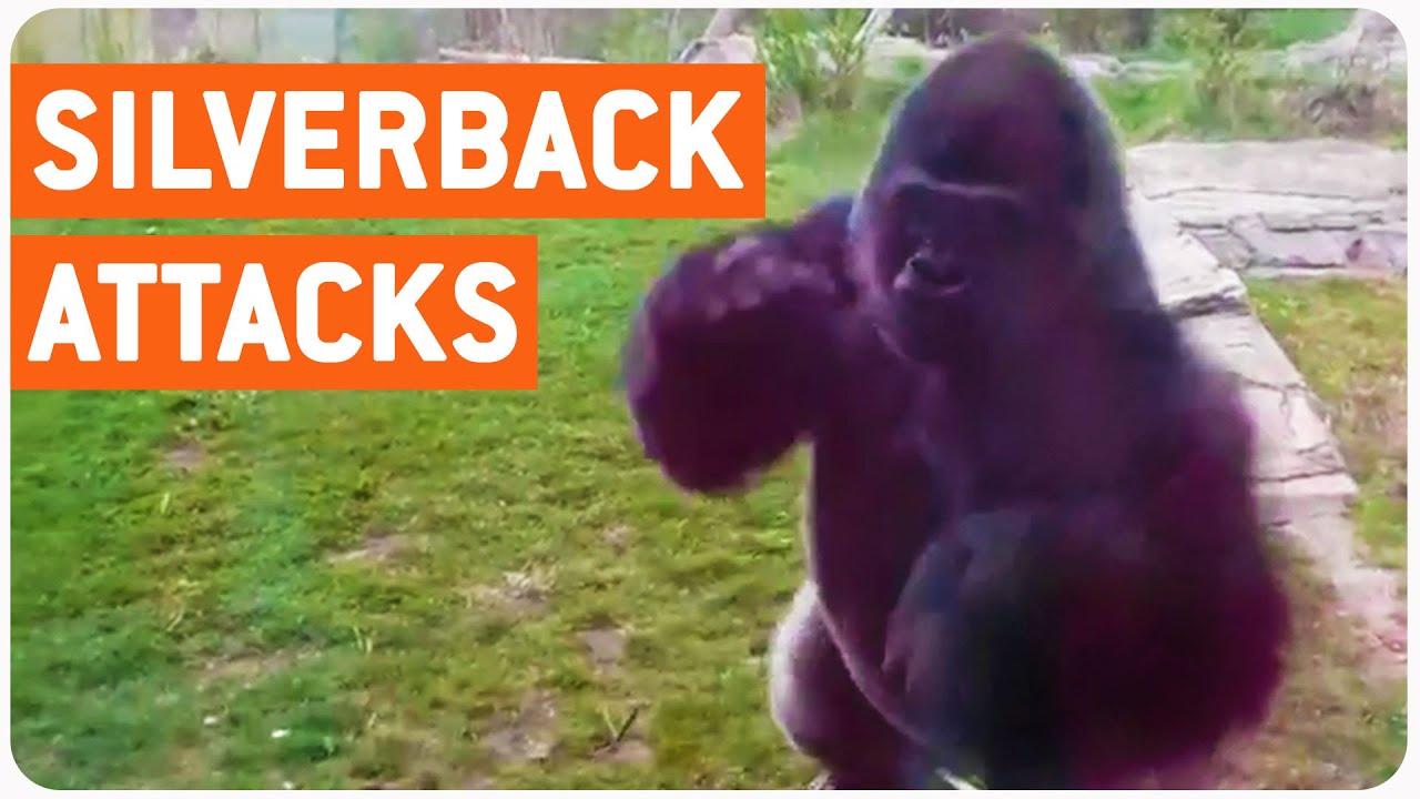 silverback gorilla attacks family at zoo full version of