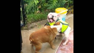 Bulldog Rescues Swimming Bulldog