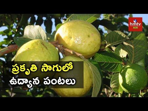 Organic Guava Farming | Sadananda Reddy | hmtv Agri