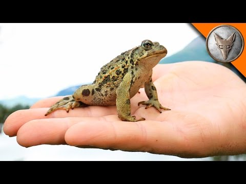 Alaska's Only Toad!