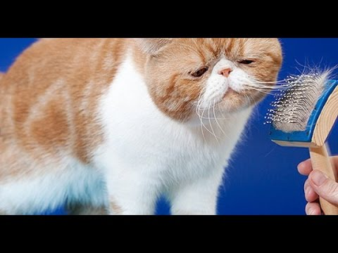 Cat Care Cats That Don T Shed Funnycat Tv