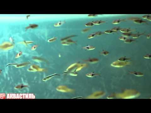 Аквариумные рыбки скалярии содержание и совместимость