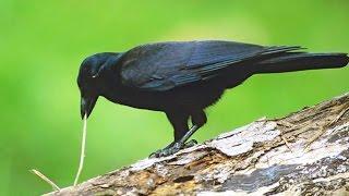 Le corbeau est l'animal le plus intelligent ? - ZAPPING SAUVAGE
