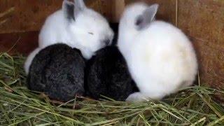 Кролики для деток. Видео про наших маленьких крольчат. Подросли - 2 недельки.(Сельский влог. Жизнь в селе Медвин. Домашние кролики: разведение. Видео про наших маленьких крольчат. Подрос..., 2016-01-04T11:24:00.000Z)