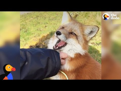 Rescued Fox Makes Friends With Everyone She Meets | The Dodo