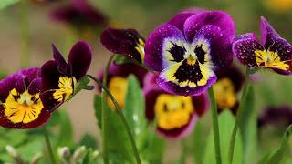 АНЮТИНЫ ГЛАЗКИ (клип) Очаровательные глазки Наталия Муравьева Застольные песни Viola Tricolor