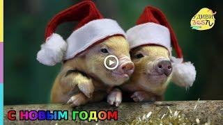 Прикольное новогоднее поздравление с 2019 годом Свиньи))