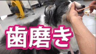 ボーダーコリーの歯磨きを撮影。 ブログ→ http://ameblo.jp/kutsuzawa7/...