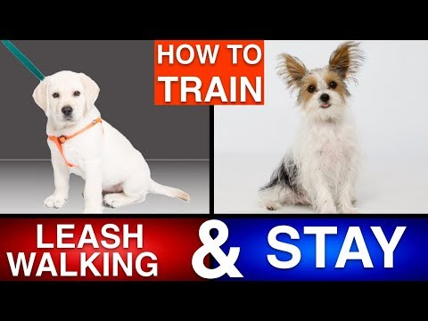 How to Train Your Puppy Leash Walking & Stay!