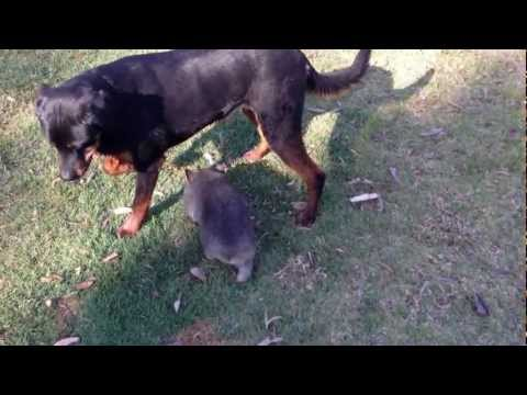 Our Wombat Ruby and Rottweiler Nixon.MOV