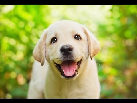 20-fun-facts-about-labrador-retrievers-🐶