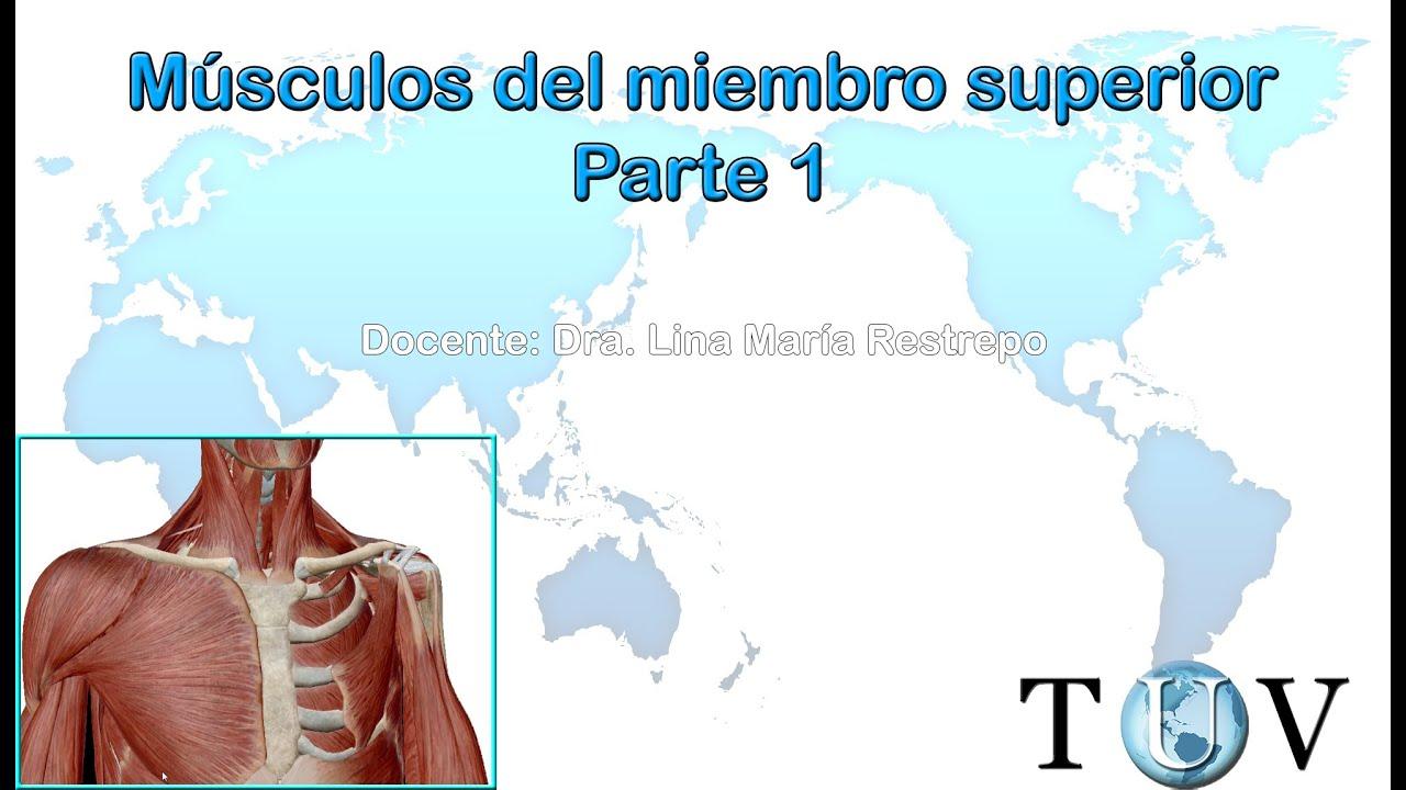 Miología del miembro superior 1 - Anatomía humana (músculos del ...