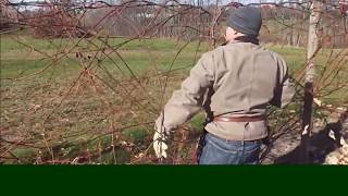Pruning Mature Grapevines – The Basic Steps - Grape Video #28
