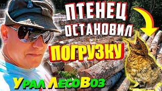 Урал 4320 Птенец остановил погрузку Урал Лесовоз