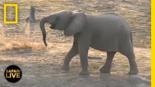 Safari Live - Day 7 | National Geographic