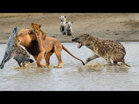Epic battle of King Lion Vs Hyenas, Pride of Wild Dog dispute territory with Hyenas