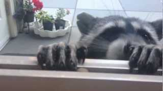 cute raccoon eating closeup part 1