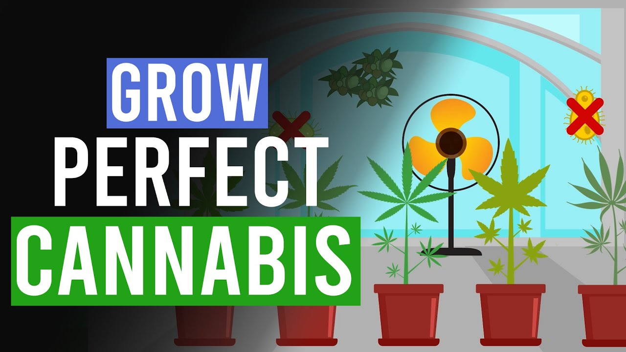 Grow the Perfect Cannabis: 10 Top Tips!