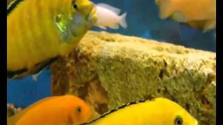 Аквариум - Аквариумные рыбки - Цихлиды Малави