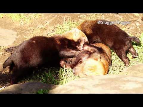 Relaxed Bush Dog Mum Feeding Her Unruly Pups