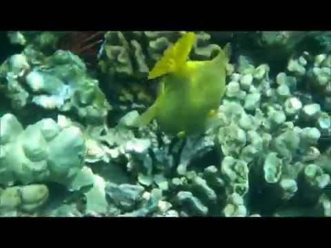 Hawaii 6-2015 - Triggerfish Feeding on Coral Reef