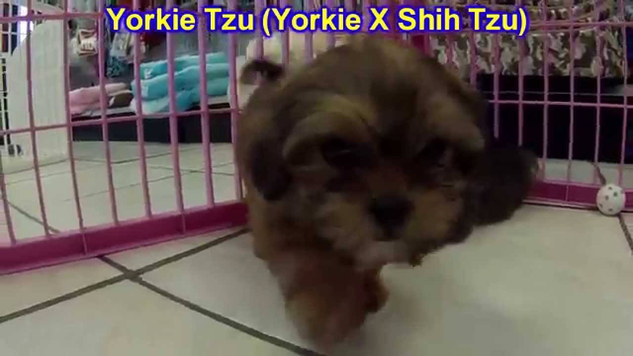 Yorkie Tzu Puppies Dogs For Sale In Louisville Kentucky Ky