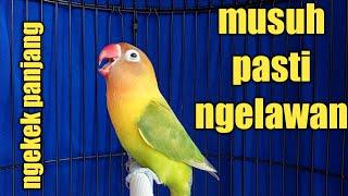 Topcer !!suara burung lovebir mencari musuh ngetik ngekek panjang mantap