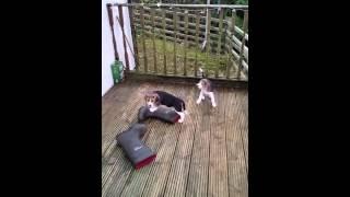 Beagle Puppies Aged 58 Days