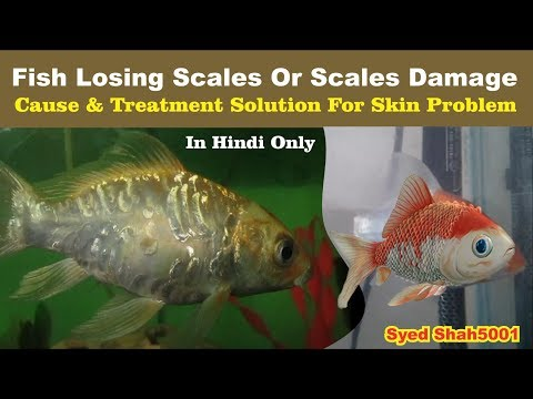 Fish Loosing Scales Goldfish - Koi Fish Losing Scales - Damage Fish Skin