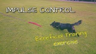 Impulse Control Training  Flirt Pole Fun with Your Dog
