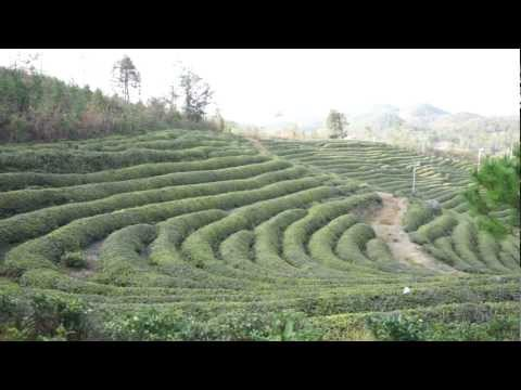 녹차원 보성다원(Nokchawon Organic Green tea plantation in Bosung, Korea)