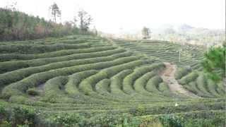 녹차원 보성다원(Nokchawon Organic Green tea plantation in Bosung, Korea)