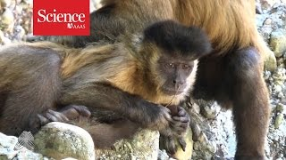 Female capuchin monkey caught using tools to pick her nose