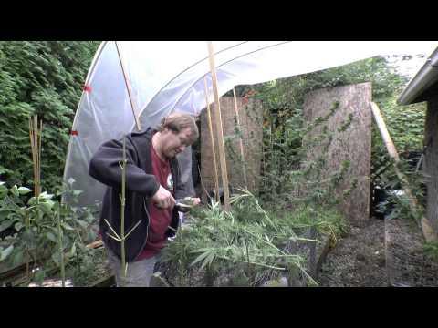 Greenhouse Grow   MediHaze Finish