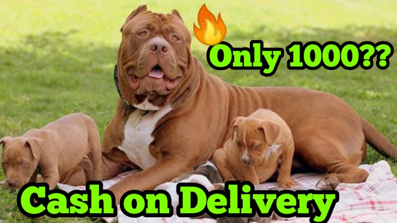 American Pitbull Cash On Delivery only 1000?? | Champion Line American Pitbull for sale in low price
