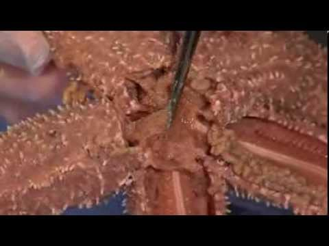 Detailed Sea Star Starfish Dissection Part Ii Jr High