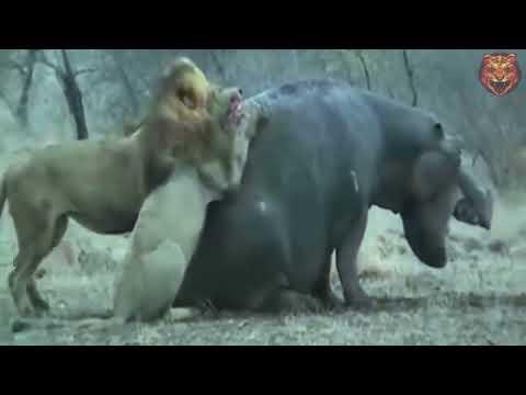 Lion hunting World's Heavyest  Animal