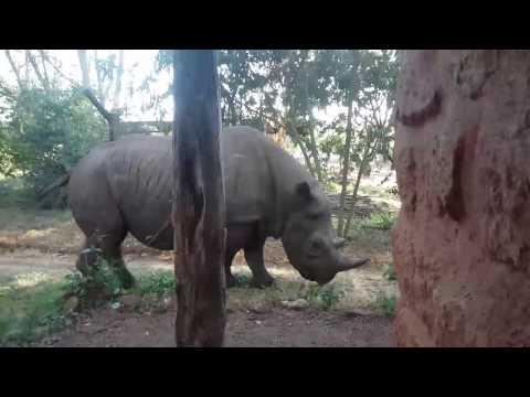 Black rhino ( Elvis )in Kenya