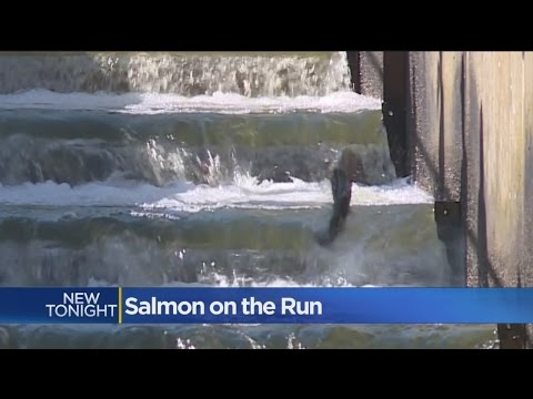 Salmon Ladders Open For Beginning Of Spawning Season