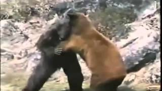 Горилла против Медведя Gorilla vs Bear