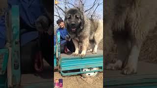 Самая большая собака в китае