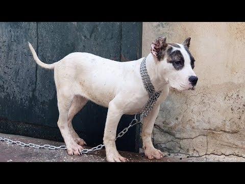 نتيجة تحسن الجراء المهجنه من كلب البلدغ والبيتبول Bulldog Hybrid Pitbull مع جمال العمواسي Youtube